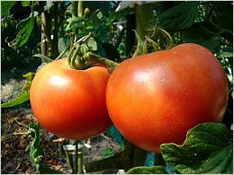 大きく育った真っ赤なトマト